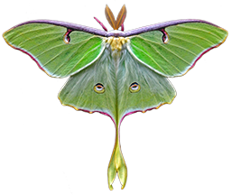 Faerie Galene Meadowmoth